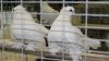 В столице прошла выставка редких пород голубей