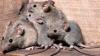 Власти обещают жителям Джакарты полтора доллара за каждую пойманную крысу