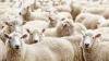 """В Рышканском районе в день Святого Дмитрия провели обряд """"овечьего предсказания"""" погоды"""