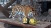 В красноярском зоопарке тигрице и медведю предложили выбрать будущего президента США