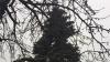 Как выглядит 17-метровая ель, которую поставят на Площади великого национального собрания