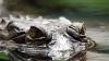 Шокирующее видео: нападение огромного крокодила на постояльцев отеля