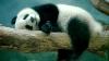 Панда из китайского заапарка прославился на весь мир