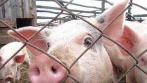 НАПБ проводит эксперимент, чтобы убедиться, что очаги заражения свиной чумой уничтожили
