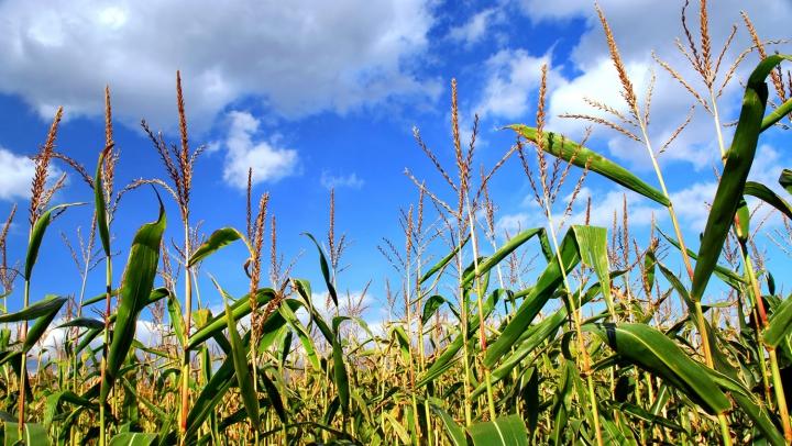 Американские ботаники услышали голос кукурузы