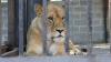 В зоопарке Нижнего Новгорода львица искусала тракториста