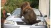Тюлень-хулиган атаковал автомобиль