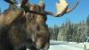 Канадских автомобилистов просят не сердить лосей, лижущих их машины