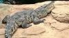 В Пензе выброшенный на помойку крокодил замерз насмерть