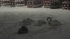 Под Калининградом стая лебедей упала на АЗС