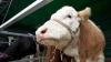 На конец сентября в стране зарегистрировано почти 130 тысяч коров