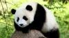 В Гонконге умерла самая старая панда в мире