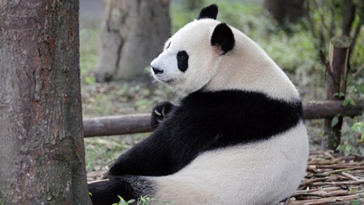 В Китае панда напала на ученого и сломала ему обе руки