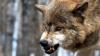 Жители Комрата стараются уберечь домашнюю птицу и скот от нападения волков