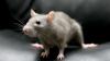 Учёные впервые вырастили клетки мышей в крысах и успешно пересадили их обратно