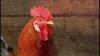 Специалисты рассказали, какой петух лучше всех подойдет для курицы