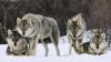 Мэрия Комрата предостерегает жителей города от возможности встречи с волками
