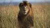 В Иордании три льва растерзали ветеринара и его помощника