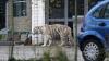 В Сицилии из бродячего цирка сбежал бенгальский тигр