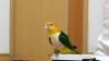 В Сети набирает популярность видео с марширующим попугаем