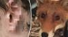 В Великобритании лиса отгрызла мужчине ухо, пока он спал на скамейке
