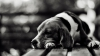 Челябинские живодеры порубили собаке топором все лапы