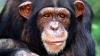 Шимпанзе из Сенегала жестоко расправились над бывшим вожаком