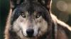 На овчарню в селе Кошерница напали волки