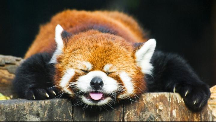 Красная панда сбежала из зоопарка в поисках любимого
