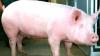 Запрет России на импорт свинины из ЕС не имеет оснований