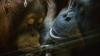 В Индонезии спасли детёныша орангутана, который нелегально жил в частном доме