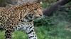 Считавшихся погибшими яванских леопардов нашли с помощью камер