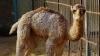 Видео спасения верблюжонка, придавленного камнями, умилило соцсети