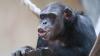В Японии нашли вторую в мире обезьяну с синдромом Дауна