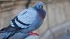 В бразильской тюрьме поймали голубя-контрабандиста