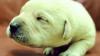 """В Великобритании родился """"зеленый"""" щенок лабрадора"""