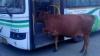 Корова в автобусе насмешила соцсети