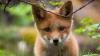 Зоозащитники спасли лисёнка, которого мучили собаки на притравочной станции