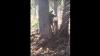 Американские охотники спасли оленя, застрявшего между деревьев