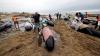 Выбросившихся на берег в Новой Зеландии дельфинов вскрыли из-за угрозы взрыва