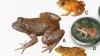 Ученые открыли четыре вида крошечных лягушек