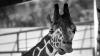 В Ленинградском зоопарке умер старейший в мире жираф