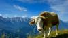В немецком Вердене выбрали самую красивую корову