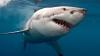 Видео: Австралийский сёрфер чудом избежал нападения акулы-людоеда