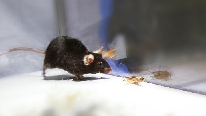 У мышей найден гигантский нейрон, возможно, отвечающий за сознание