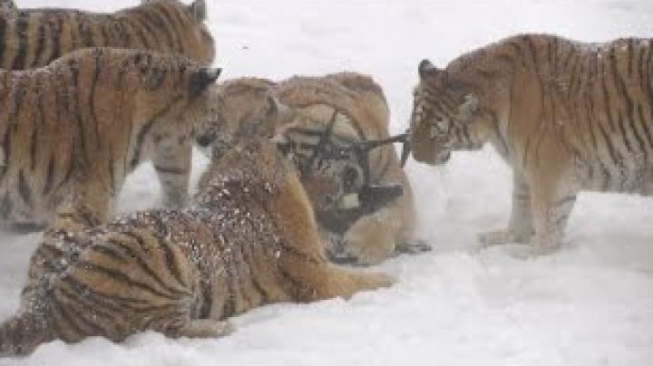 Видео: Амурские тигры тренируются сбивать беспилотники