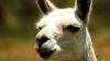 Видео: Наглая лама довела ребёнка в сафари-парке до истерики