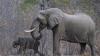Браконьеры убили самого большого и старого слона Африки