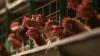 Курица или яйцо: ученые нашли ответ на извечный вопрос