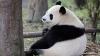 В Китае ради строительства парка для панд переселят 172 тысячи человек